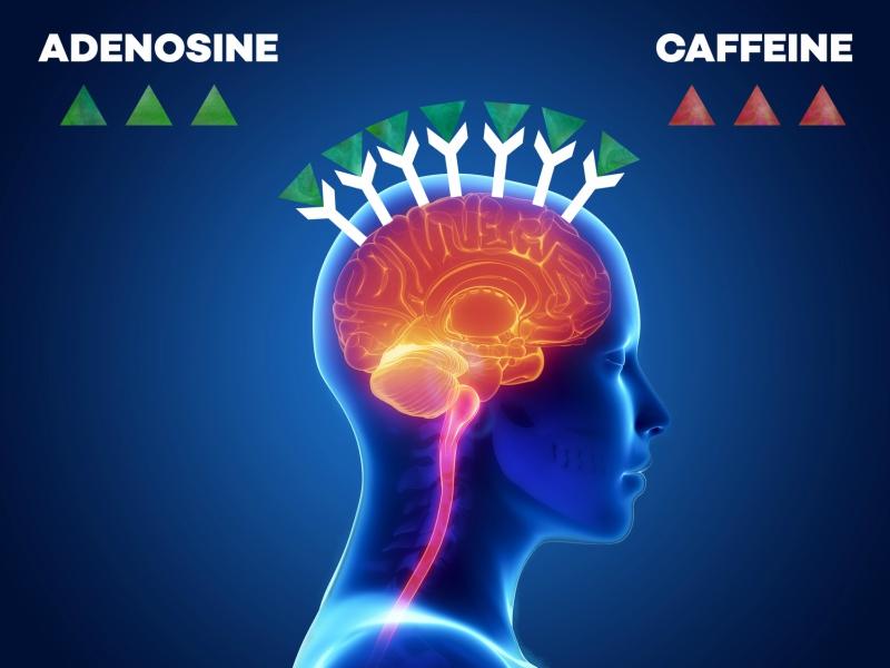adenosine and the science behind caffeine