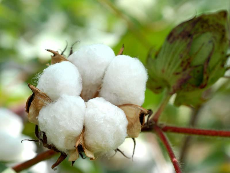 cotton happsy