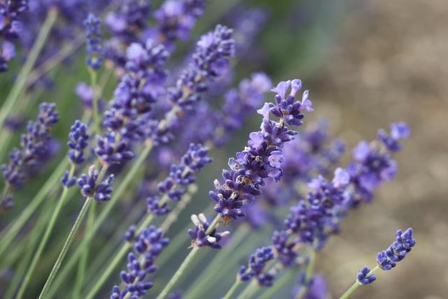 lavender in the bedroom