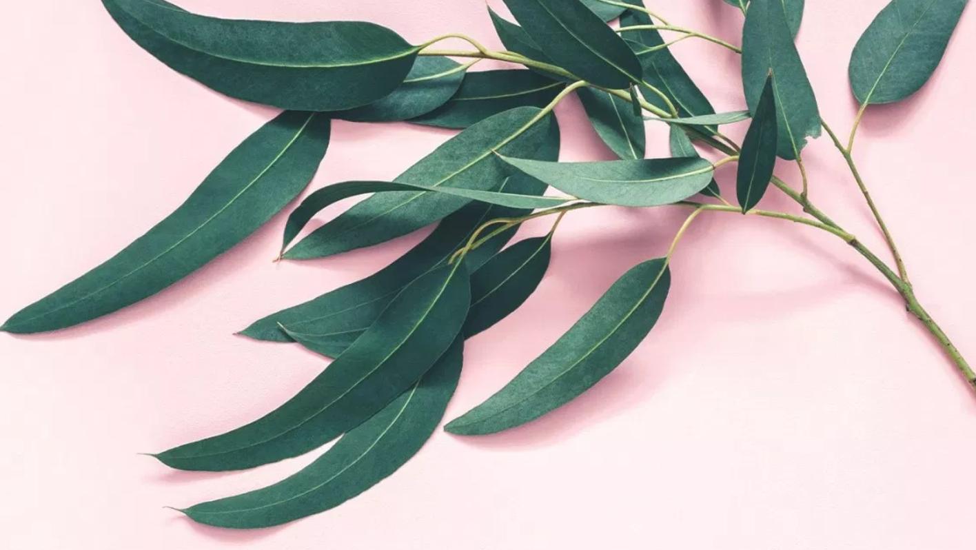 one hundred eucalyptus sheets