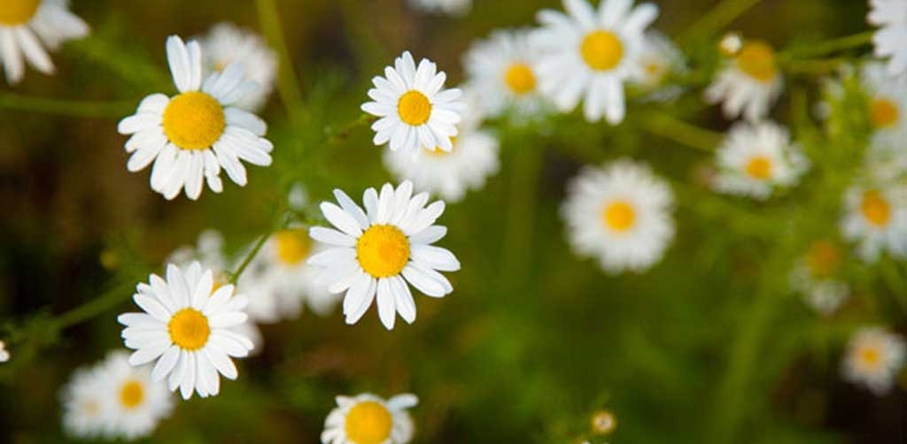natural sleep aid chamomile