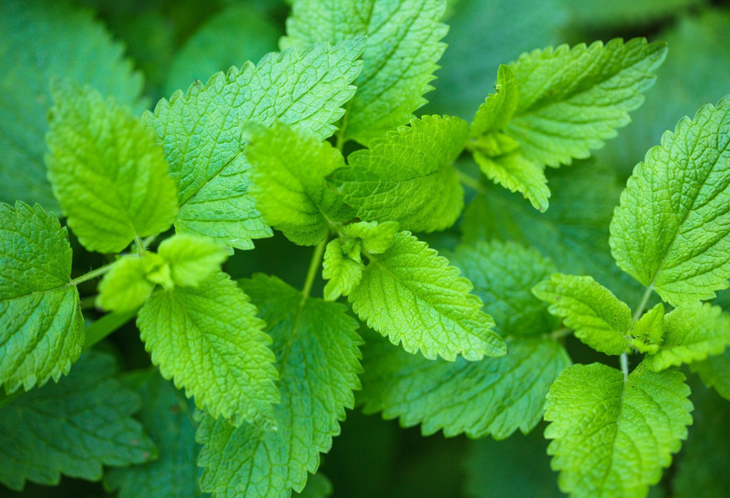 natural sleep aid lemon balm