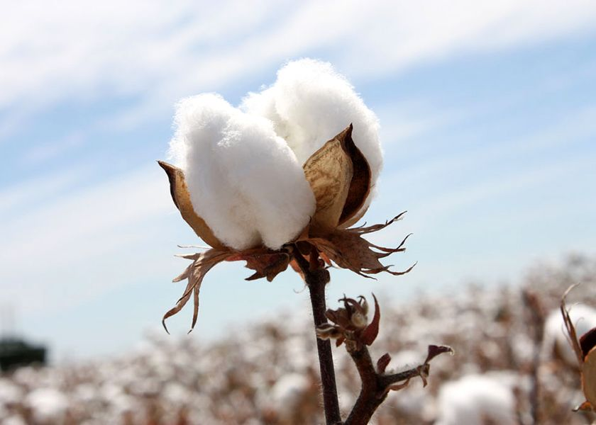 egyptian cotton benefits and prices