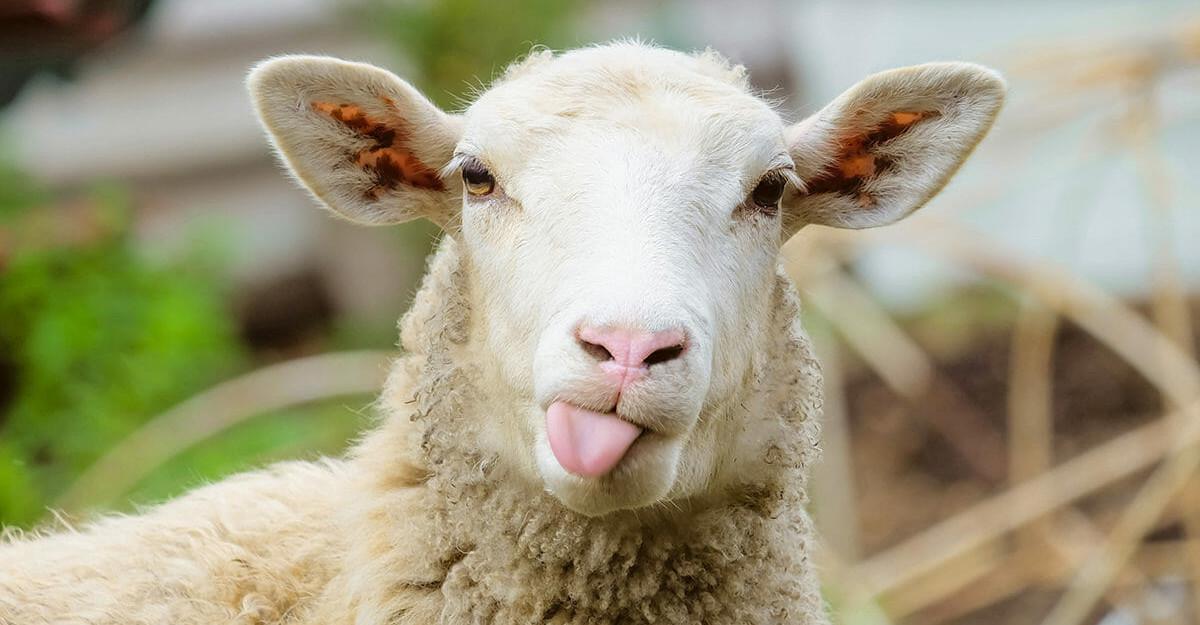 sheeps wool bedding