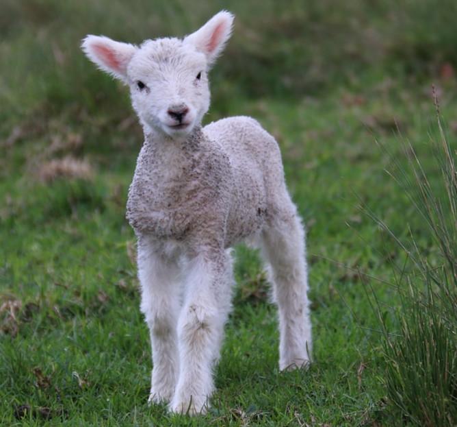 baby sheeps wool