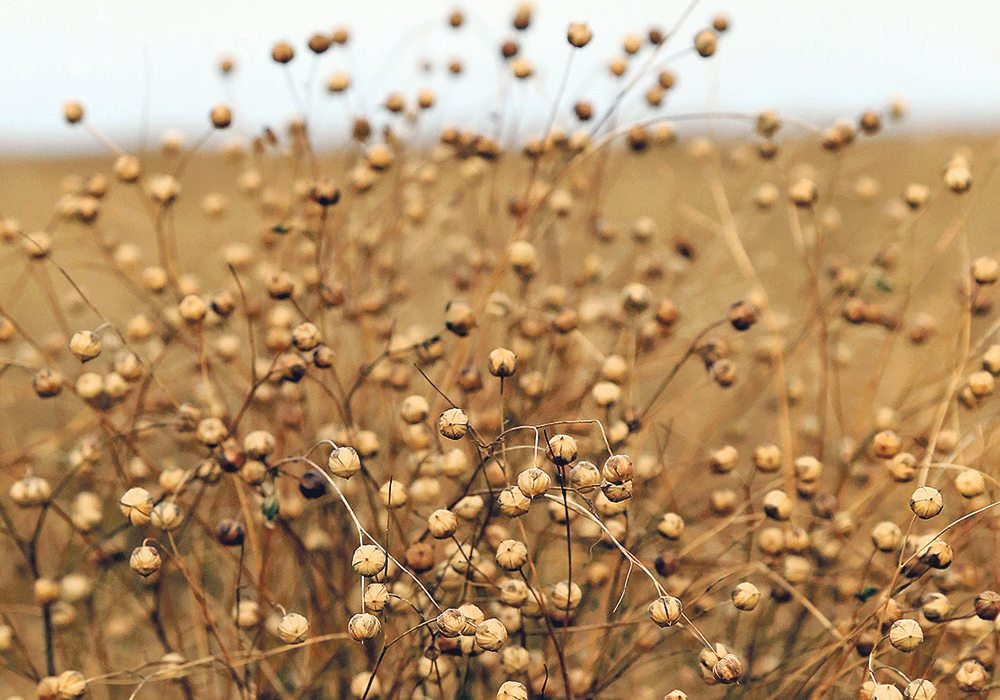 linen flax plant european
