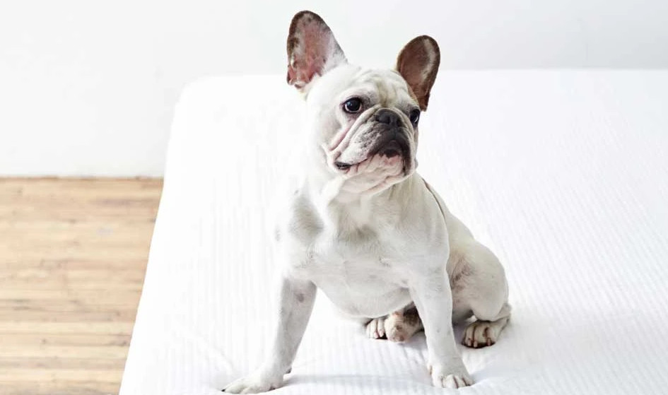 how to protect your mattress from pet dander