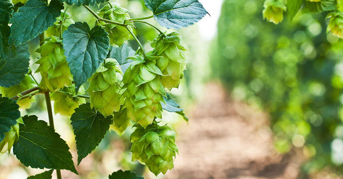 hops top herbs for insomnia