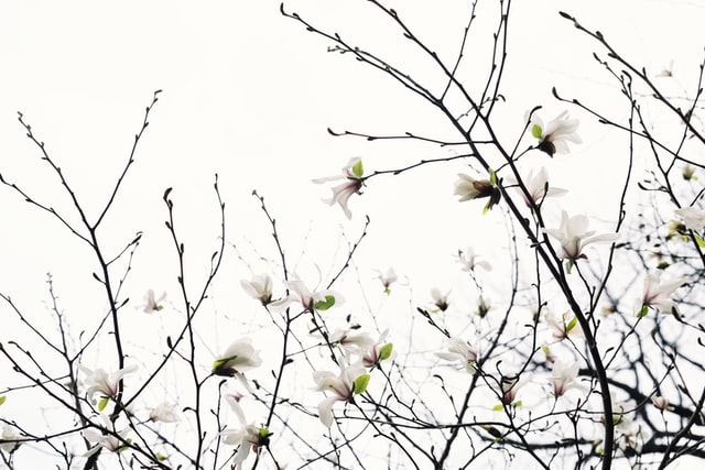 magnolia bark is an herbal supplement that can help with insomnia