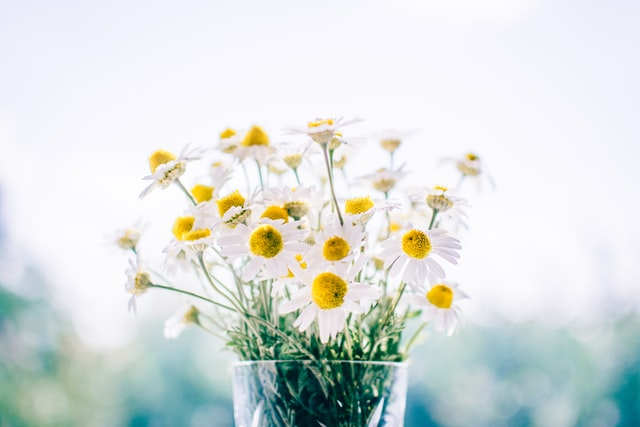 different ways chamomile can help you get to sleep