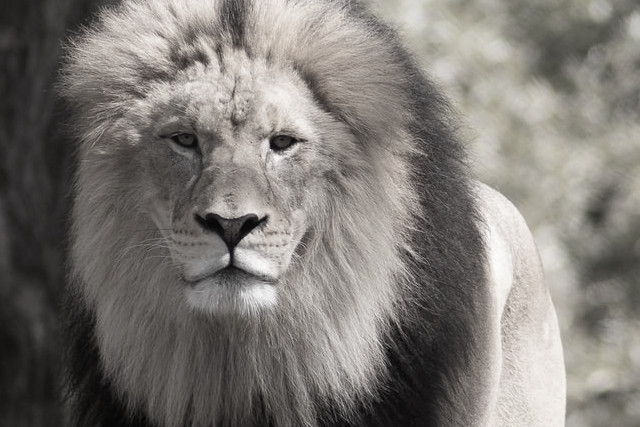 lion chronotype and your energy needs