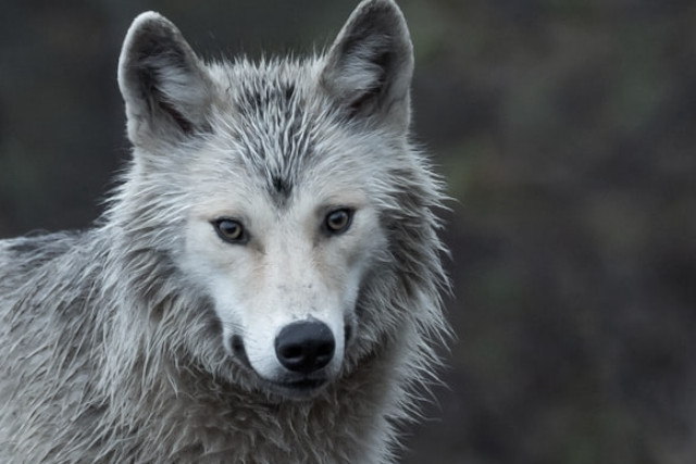 wolf type sleeper and your