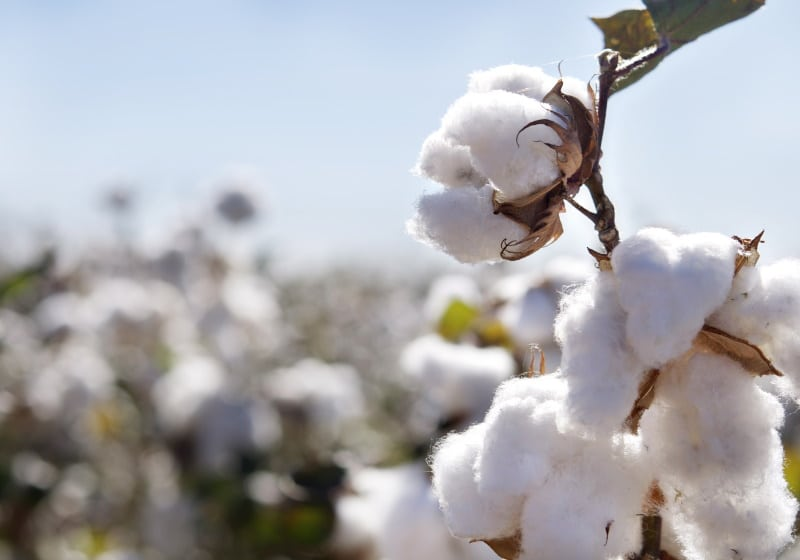 american grown supima cotton